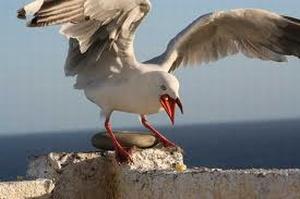 Bird Deterrent & Control   Seagulls   Pigeons   Starlings